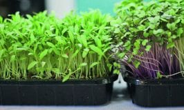 From green Manures to Microgreens