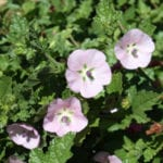 Anisodontea scabrosa (Pink mallow, Sandroos)