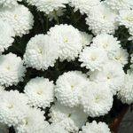 Argyranthemum frutescens 'Summersong White Improved'