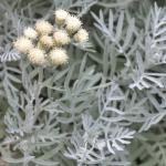 Artemisia 'Powis Castle' (Mugwort, Wormwood)
