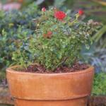Repotting and transplanting roses