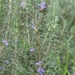 Dew of the Sea – Rosemary