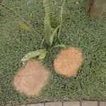 Dymondia margaretae