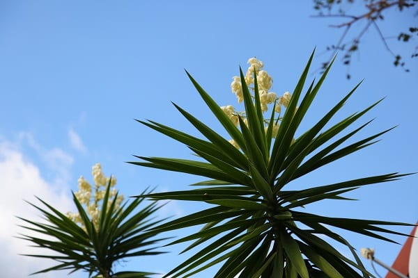 Yucca filamentosa the gardener you may have recently noticed a strange plant with a great shaft of fragrant creamy white bell like flowers held above spiky leaves mightylinksfo