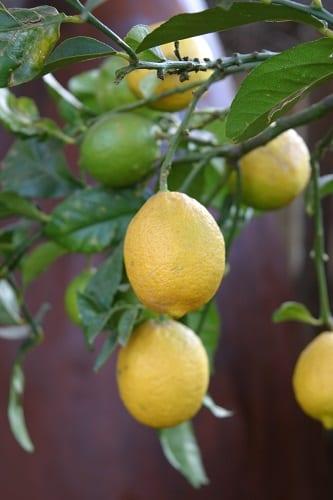 Citrus Limon The Gardener
