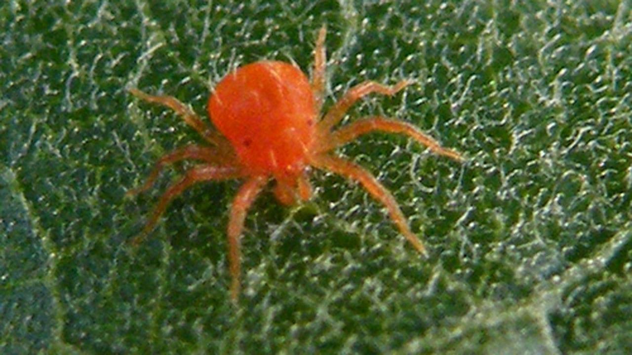 Red Spider Mites   The Gardener