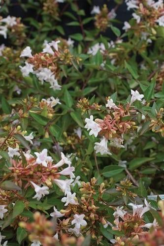 Abelia X Grandiflora The Gardener