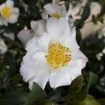 Camellia sasanqua hybrids