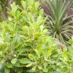 Ficus-Macrocarpa_8724.jpg