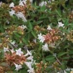 abelia-grandiflora1.jpg