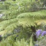 cyathea-australis02.jpg