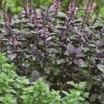 Perennial basils