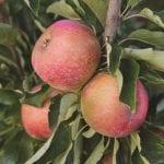 A+ Apples