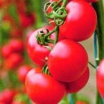The best of tomatoes