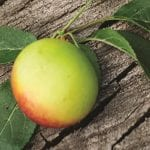 How to prune plums