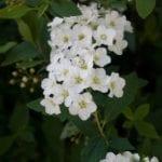 Spiraea-Cape-May4278.jpg