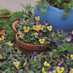 Plant Pansies in Pots