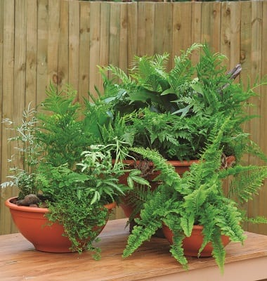 Potted Ferns - The Gardener