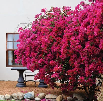 Bougainvilleas Were Introduced To Gardens Centuries Ago From South America And Today Remain Por Shrubs Climbers In Many Parts Of The World
