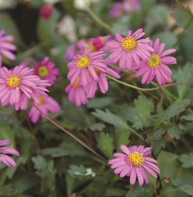 mini rose garden companion plant