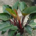 philodendrons