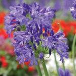 agapanthus blue velvet
