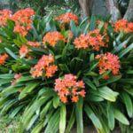 natal lily