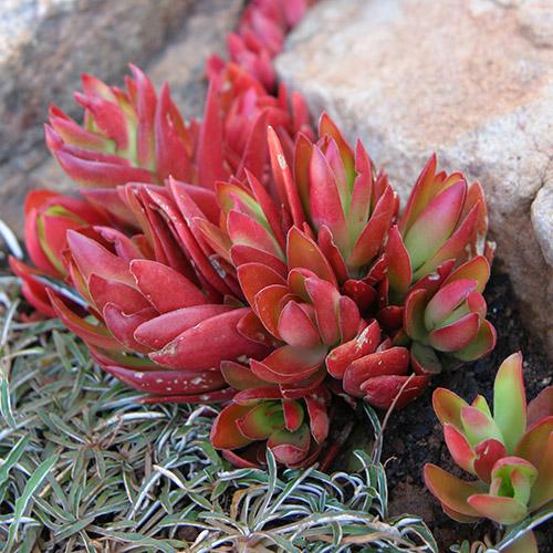 succulent crassula campfire