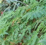 squirrel's foot fern