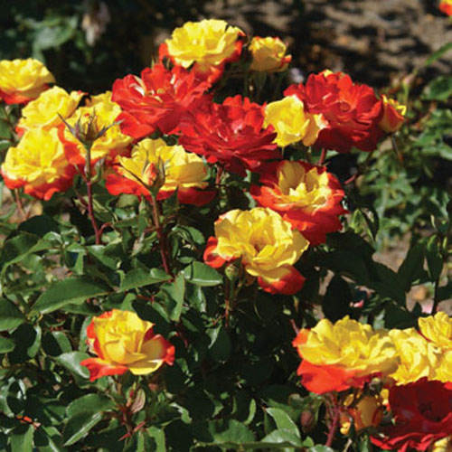 south african roses