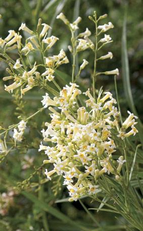 freylinia lanceolata