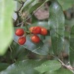 dwaba berry