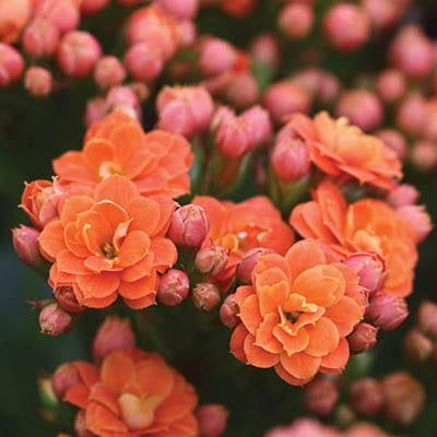 colourful kalanchoes