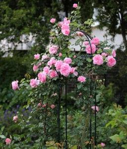 Pruning roses