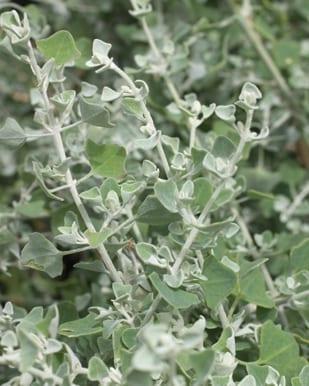 silver-foliaged plants salt bush