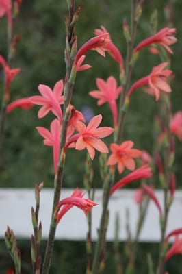 Watsonia pillansii
