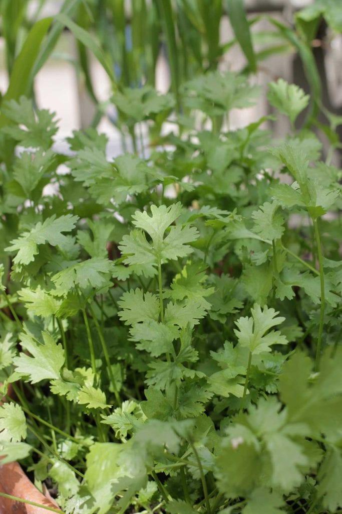 companion herbs