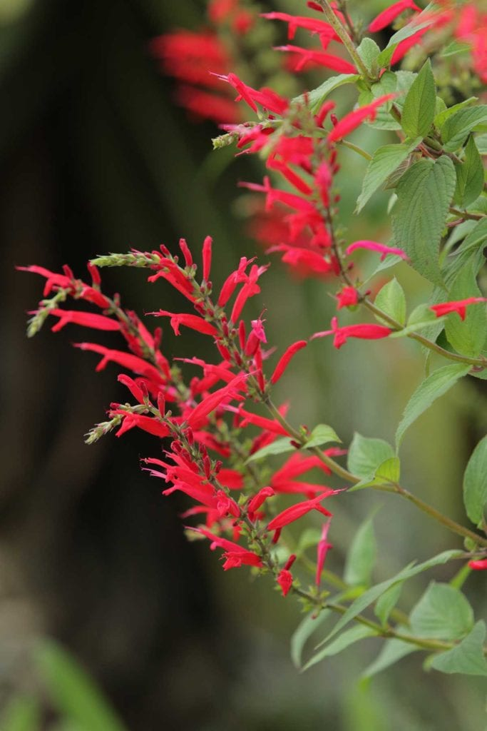 pineapple sage herbs for summer fruits