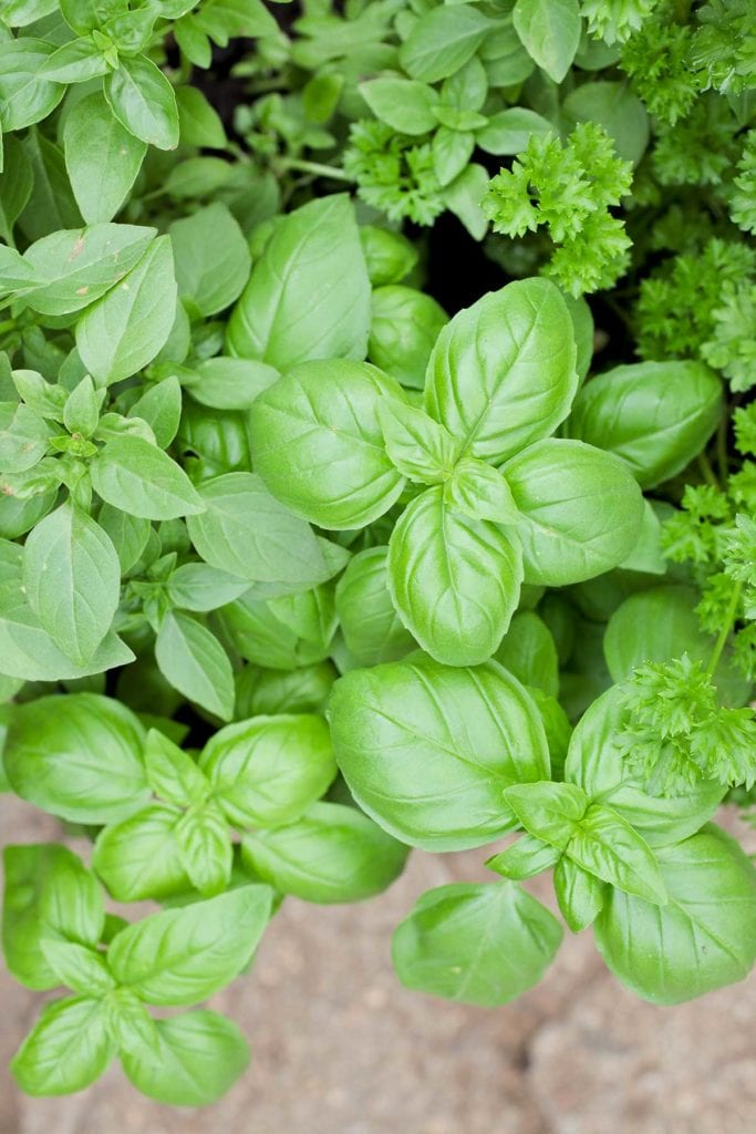 basil companion herbs