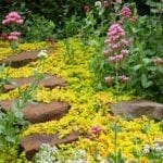 Lysimachia nummularia edging plants