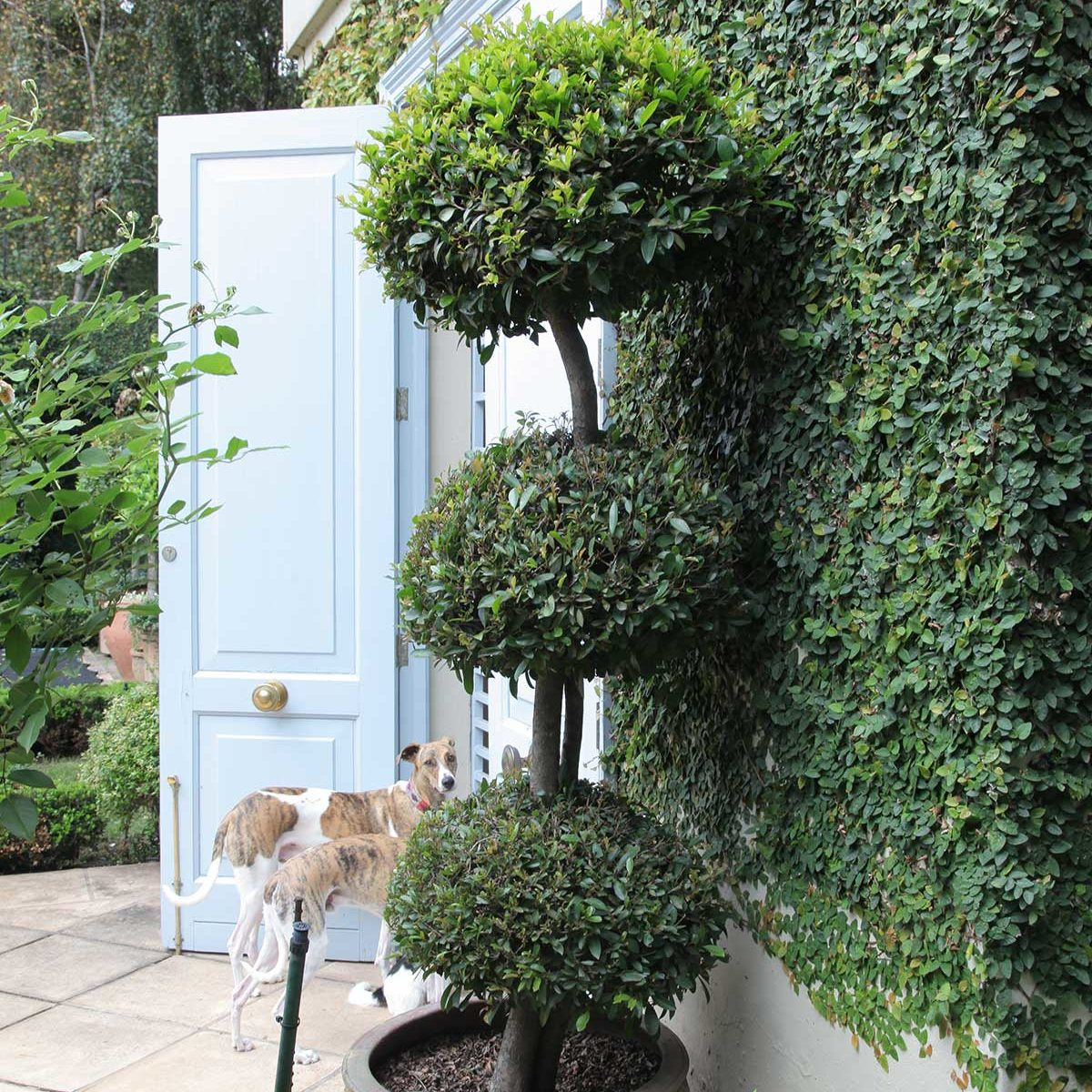 poodle-cut topiary
