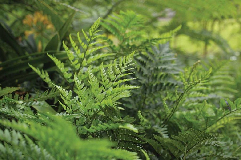 garden ferns
