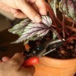 propagating begonia rex