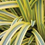 Agapanthus africanus 'Summer Gold'