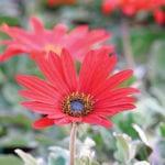 Arctotis x hybrida 'Red Radiance'