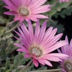 Arctotis x hybrida 'Rose'