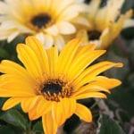 Arctotis x hybrida 'Sun Spot'