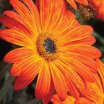 Arctotis x hybrida 'Sunset Radiance'