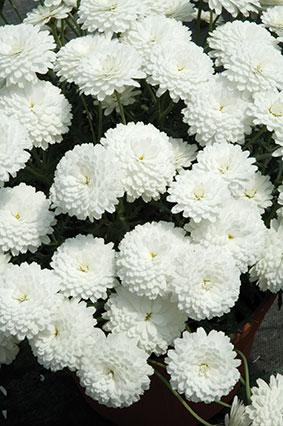 Argyranthemum Frutescens Summersong White Improved