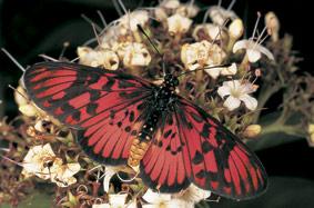 Blood-red-Acraea.jpg